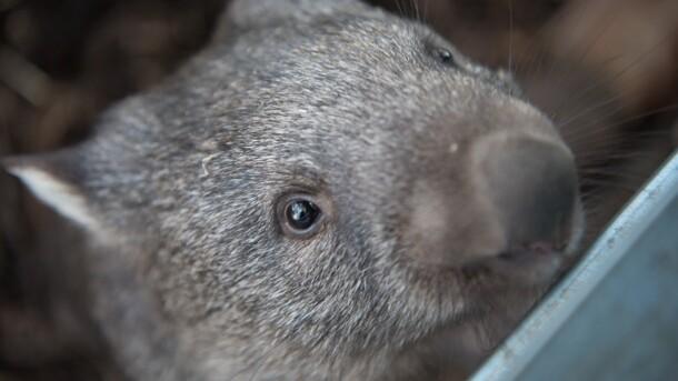 В Австралии туристам запретили делать селфи с вомбатами