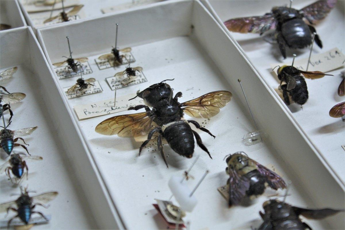 Пчелы Уоллеса считались 40 лет вымершими для науки