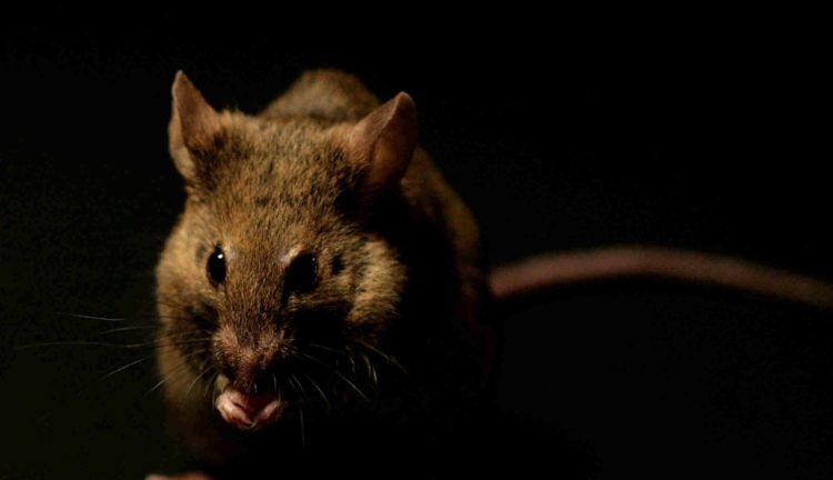 Мыши превосходно стали видеть в темноте после принятия глазных капель