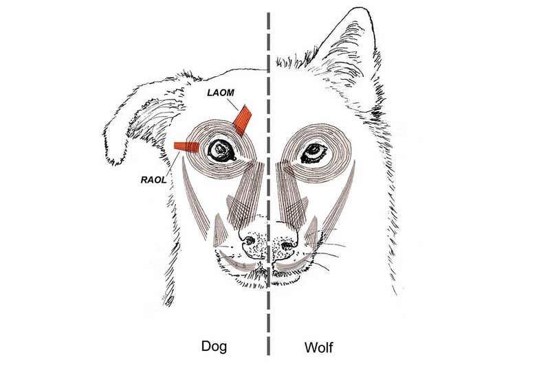 """Специальная мышца над глазом у собак делает их взгляд более """"человечным"""""""