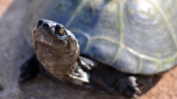 ВТаиланде скончалась проглотившая 900 монет черепаха