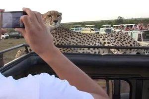 Гепард испугал туристов, когда неожиданно решил заглянуть в автомобиль
