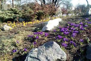 Весна наступает: в киевском парке появились яркие цветы