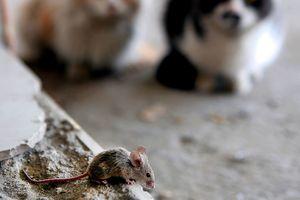 Ученые выяснили, когда домашние мыши стали жить с человеком