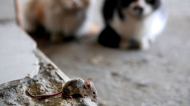 Мыши были первыми домашними животными— Ученые
