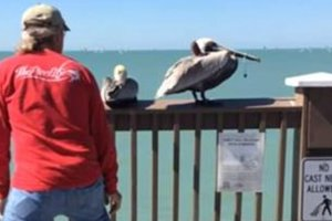 Freedom Pelican: the man caught the bird and freed it from fishing line