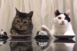 Дрессированные пушистики: коты просят еду с помощью звоночков