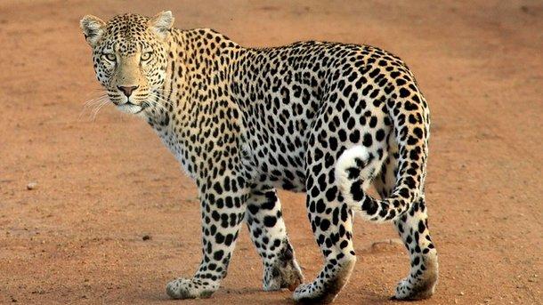 ВНепале леопард вышел наВПП, чем нарушил работу аэропорта