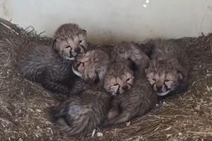 Видеохит: в американском зоопарке родились 12 гепардов