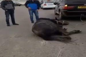 В Умани ветеринар осмотрел лошадь, которую хасиды привязали к авто и тянули по трассе