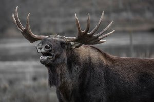 В Черниговской области браконьеры расстреляли двух лосей