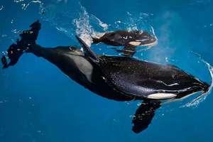 Касатка родила двух малышей в американском океанариуме