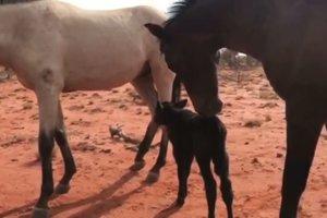 В Австралии лошадь усыновила осиротевшего теленка