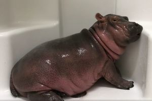 Видеохит: бегемотик Фиона забавно принимает душ