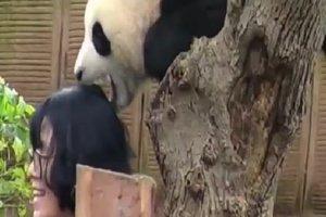 Панда, которой не понравилось фотографироваться, укусила туристку