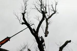 В США спилили дуб, под которым отдыхал Джордж Вашингтон