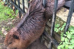 В Канаде спасли растолстевшего бобра, застрявшего в заборе