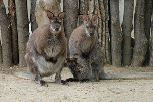 В харьковском экопарке показали новорожденного кенгуренка