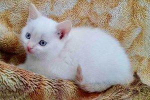 Найди друга: белоснежный котенок с голубыми глазами ищет дом