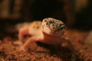 В Одесском зоопарке у экзотических ящериц родился малыш
