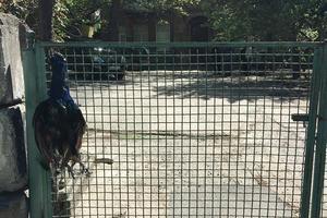В Киеве живодеры убили ручного павлина