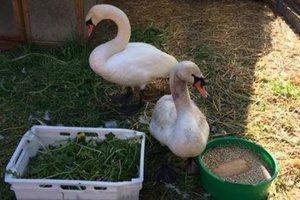 Под Киевом живодеры натравили собаку на самку лебедя