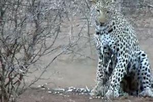 Неудачная охота: леопард попытался поймать дикобразов