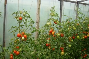 Как повысить урожайность помидоров: секреты правильной формовки