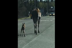 На Аляске лосиха с детенышем стали причиной дорожной пробки
