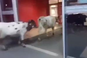 В торгово-развлекательный центр на Урале пришли четыре коровы