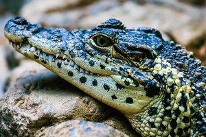 Китаец выгулял крокодила на поводке и сделал из него шашлык