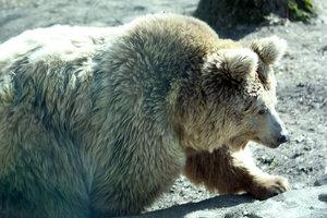 Цирк, в котором медведица напала на людей, продолжает выступать
