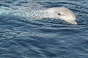 В Одесской области из-за браконьеров массово гибнут дельфины