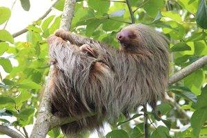 В Австралии усыпили старейшего в мире ленивца