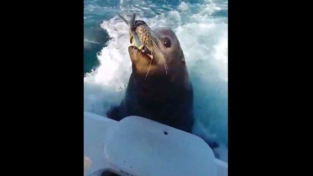 Морской котик с рыбой.  Кадр из видео
