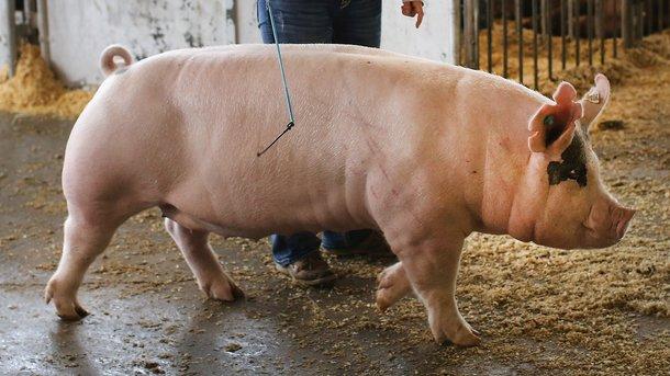 В этом 2017г. ожидается недостаток свинины