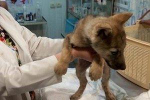 В Днепре из плена частного зоопарка спасли умирающего волчонка
