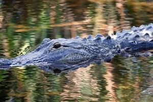 Крокодил съел девушку во время религиозного омовения в реке Инд