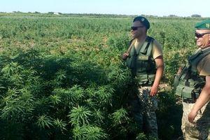 В Одесской области нашли поле конопли