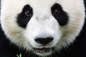 В Китае умерла панда-долгожительница