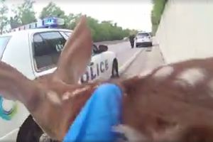 Видеохит: полицейские спасли олененка на оживленной трассе