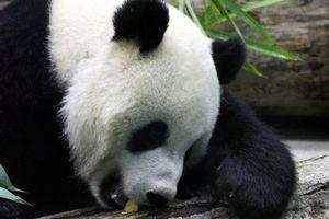 В Японии гигантская панда родила малыша