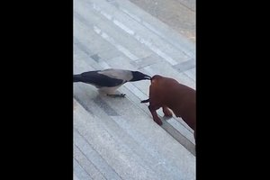 Ворона разозлила таксу, хватая ее за хвост