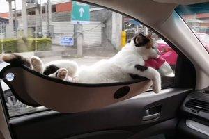 Пользователей Сети покорило видео с кошкой путешествующей в гамаке