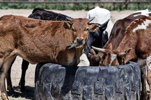 В Британии стадо коров затоптало мультимиллионера
