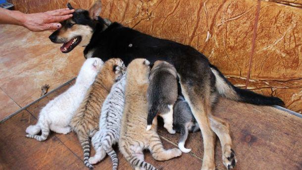 Кормилица для щенят и тигрят. Фото: REX