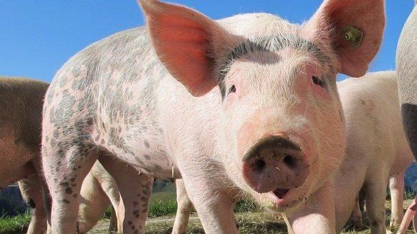 Член свиньи видео