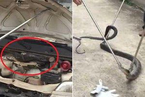 Водитель нашел под капотом своей машины королевскую кобру