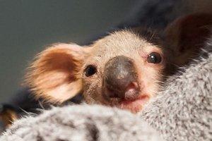 Малыша коалы спасли, вытащив его из сумки мертвой мамы