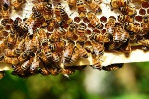 Ученые выяснили причину вымирания пчел